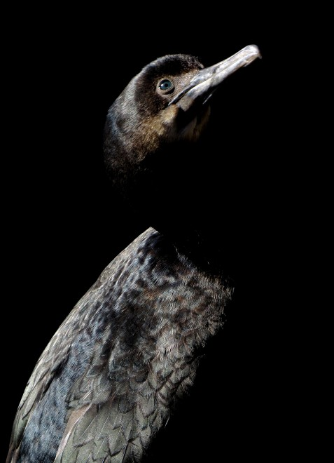 cormorant-2013