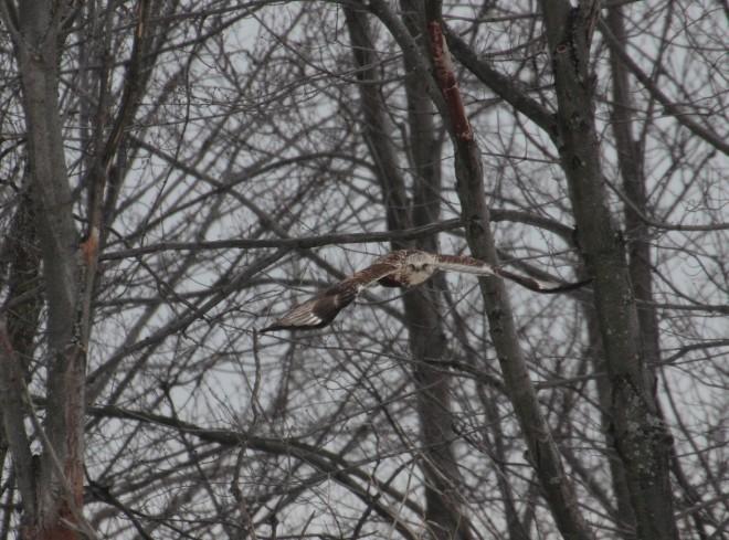 rough-legged-hawk-04