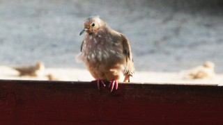 spotted-dove-25