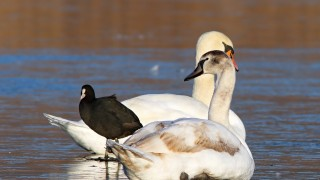 swans-and-coot-on-ice