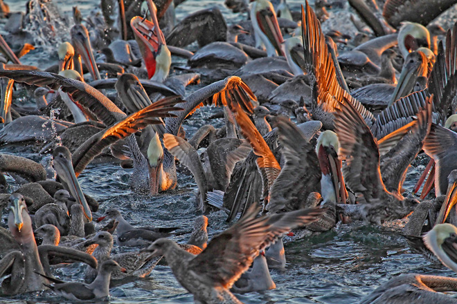 Reader photo: The golden light of the setting sun illuminates a waterbird spectacle