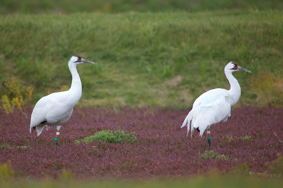 Whooping Cranes found dead in Kentucky; at least 12 eastern birds have now been shot