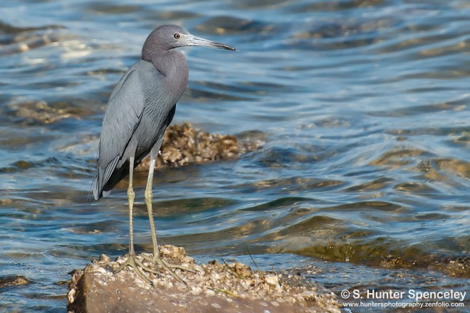 DSC_0097-Little-Blue-Heron