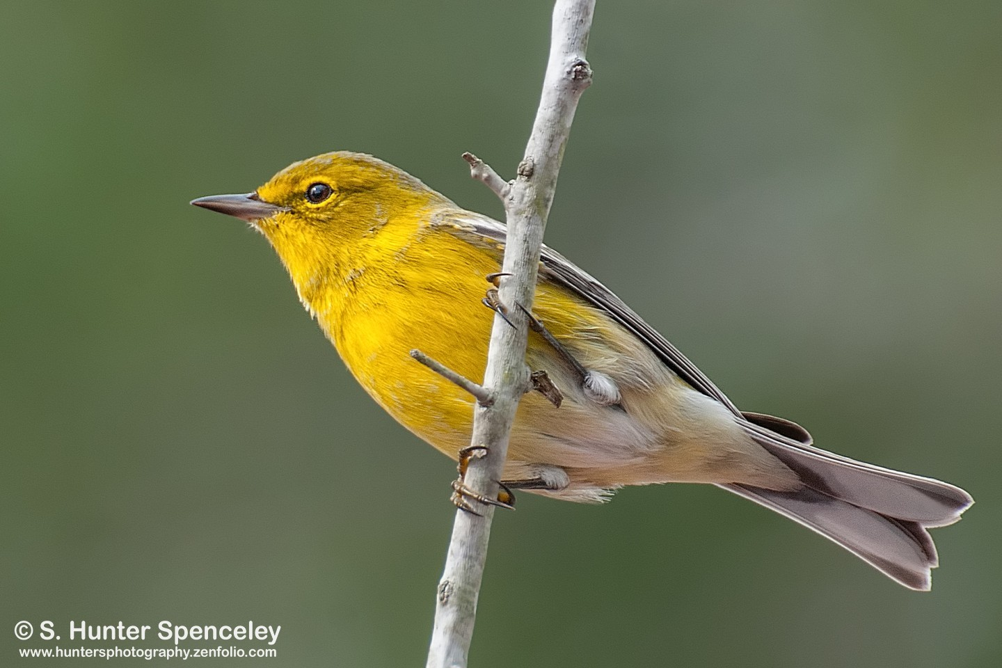 eBird maps show it's time to look for Pine Warbler