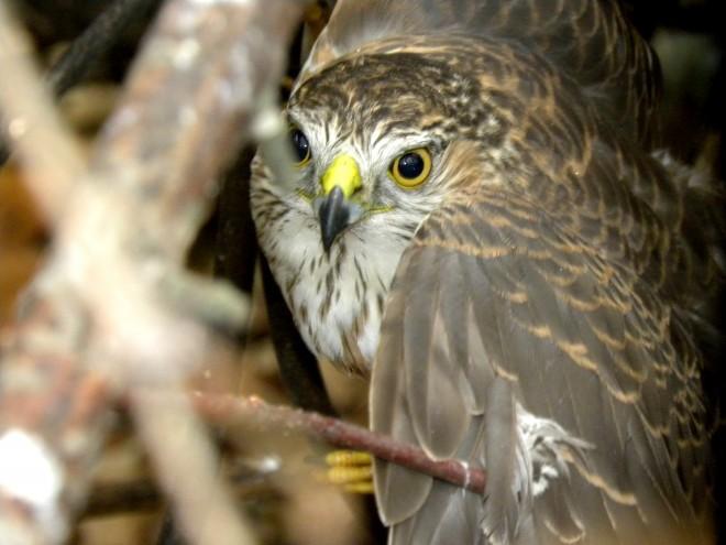 Juvenile-Redtail-Hawk-in-the-Habitat-Rescue-12-20131
