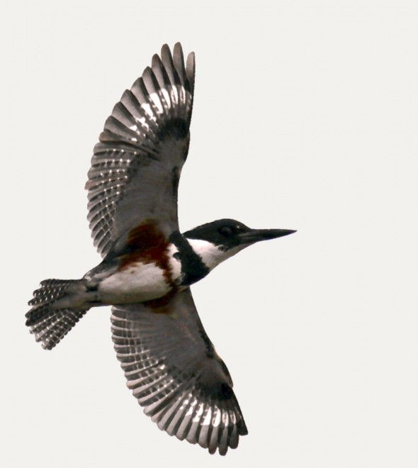 Kingfisher-in-flight