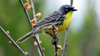 Kirtland's Warblers found on Bahamian island for the first time in 46 years