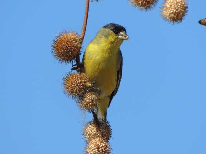 Lesser-Goldfinch-06