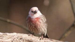 Leucistic-House-Finch