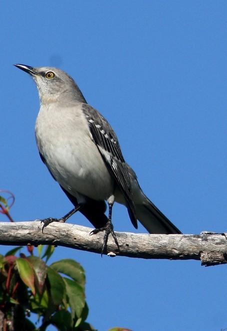 Nothern-Mockingbird