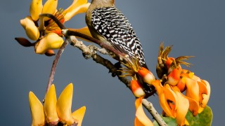 Red-crowned-Woodpecker