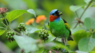Red-necked Tanager occurs only in eastern South America and can be seen at Serra Bonita. Photo by Dave Krueper.