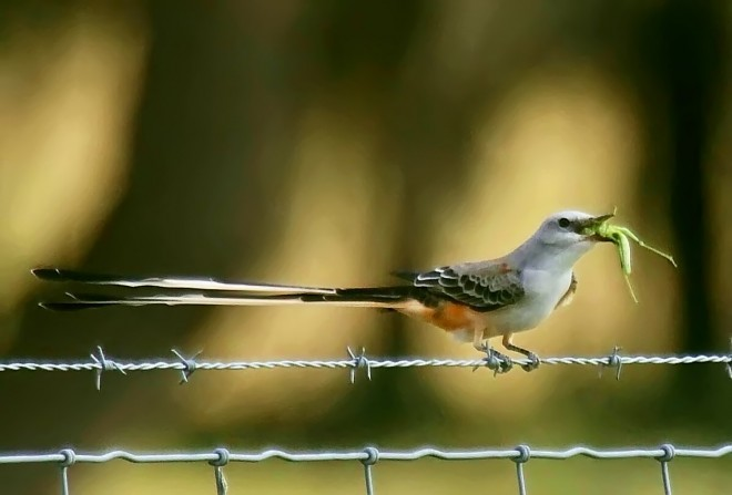 Scissor-tailed-Flycatcher-with-a-treat