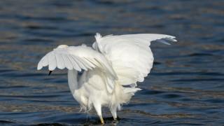 Snowy-Egret-2