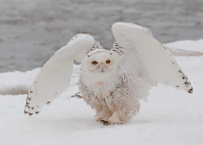 Snowy-Owl-Janet-DiMattia