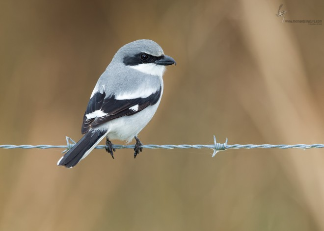 Loggerhead Shrike at Viera Wetlands, Florida, by Joshua Clark.