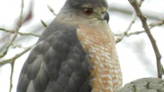 coopers-hawk-8