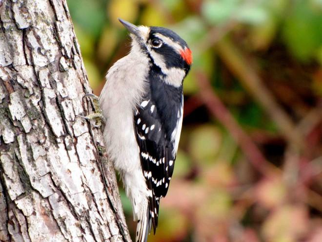 downy-woodpecker-copy