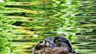 sleeping-duck-01y-001
