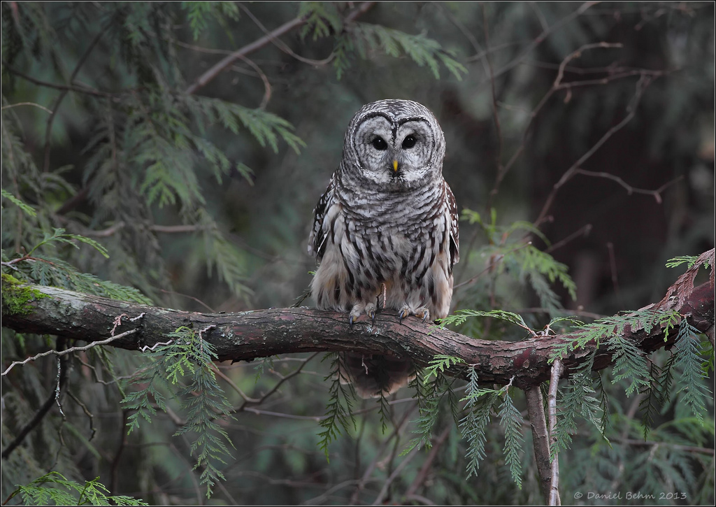 Barred-Owl-in-Habitat - BirdWatching