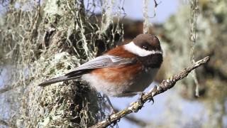 Chestnut-backed-Chickadee