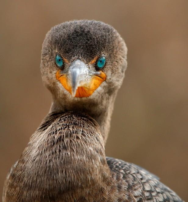 Cormorant-eye-contact