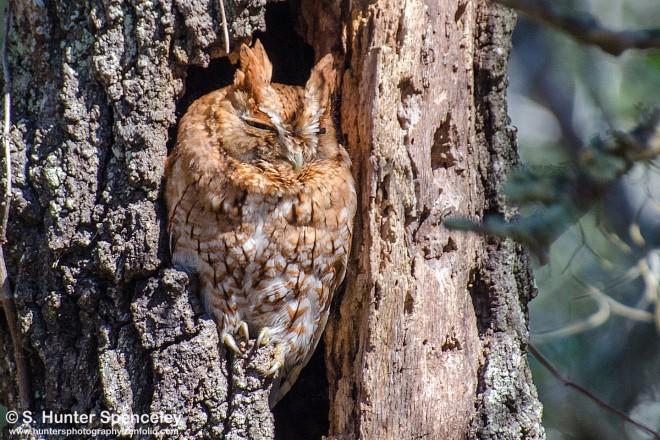 DSC0006-Eastern-Screech-Owl