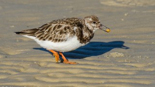 DSC0324-Ruddy-Turnstone