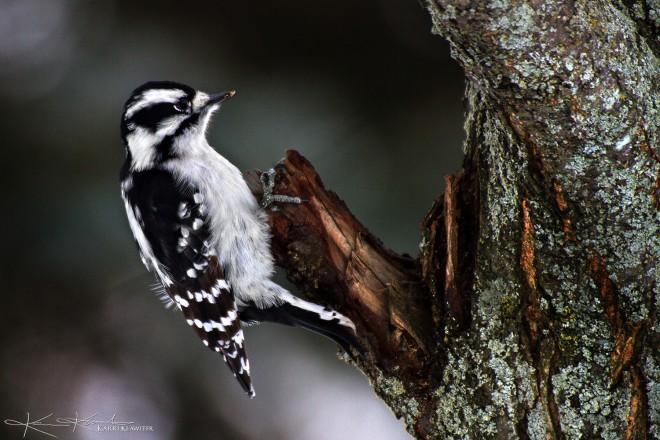 Downy-Woodpecker-F_med