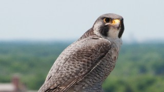 Falcon-Peregrine-Zephyr-DSC_7367-sig