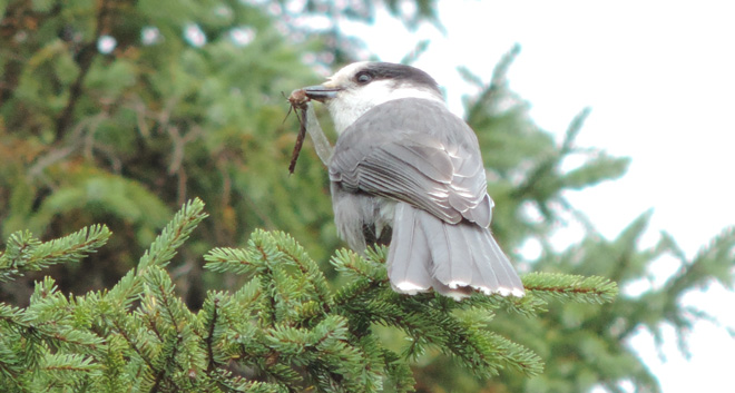 Reader photo: Dragonfly makes one-of-a-kind Gray Jay image