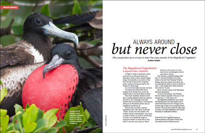 Magnificent Frigatebird: Always around but never close