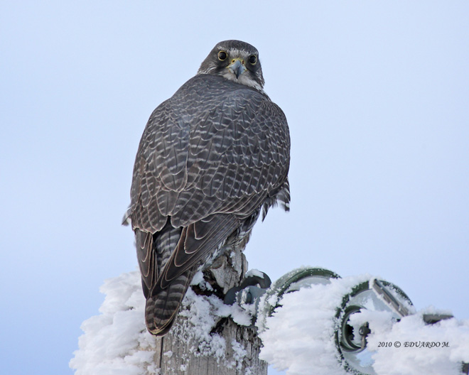 10 things you didn't know about Gyrfalcon