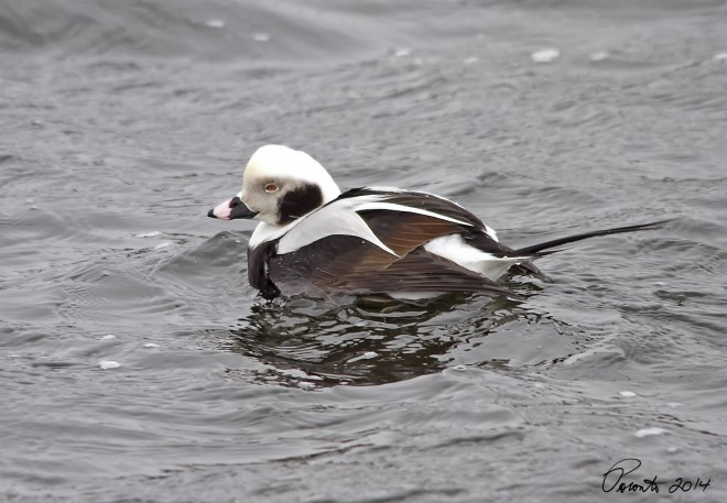 Long-tailed-Duck