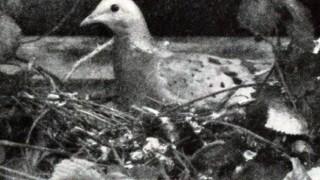 Passenger Pigeon on nest, 1896/1913, by J.G. Hubbard, Wikimedia Commons.