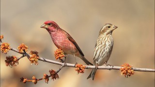 Purple-Finch-Pair