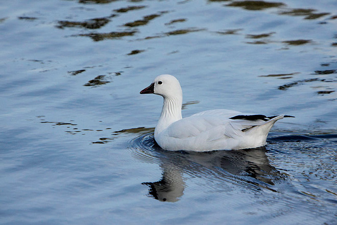Maps show Ross's Goose locations in winter and spring