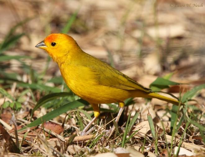 Saffron-Finch_5416