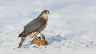 Sharp-Shinned-Hawk-with-Prey