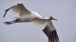 Whooping_Crane_in_flight_in_Texas