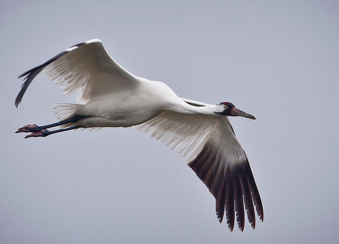 10 things you didn't know about Whooping Crane