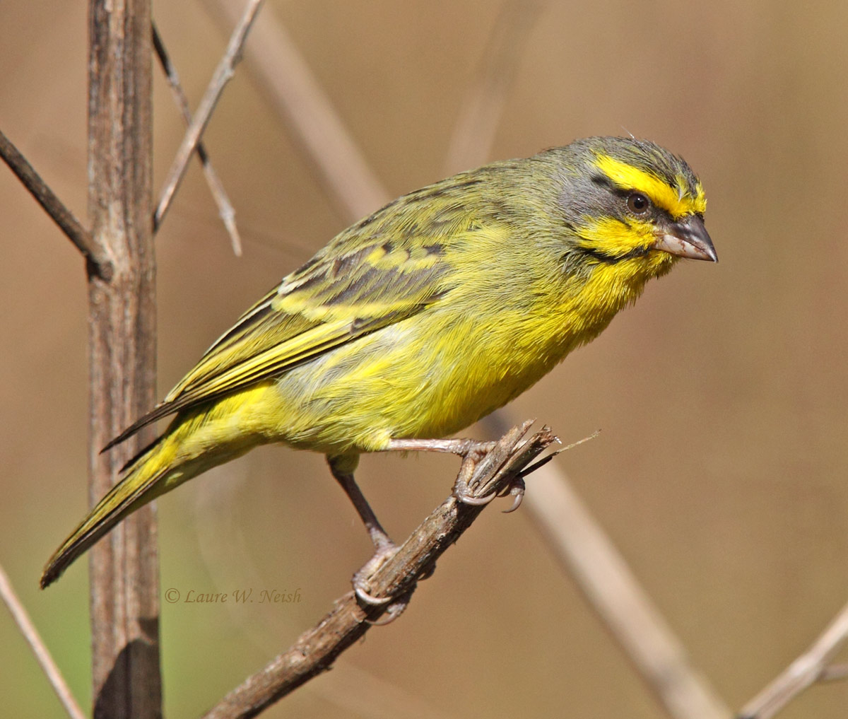 Yellow-fronted Canary - BirdWatching
