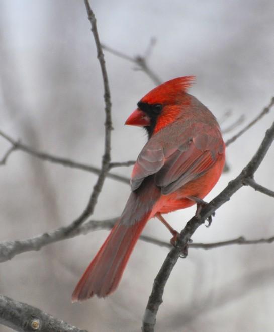 cardinal_lrg