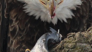 eagle-eating-closeup-3