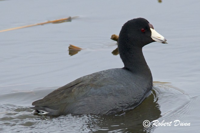 American-Coot1