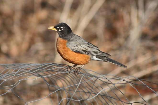American-Robin-March-21-2014-1