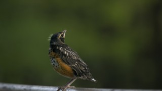 Baby-Robin-RC