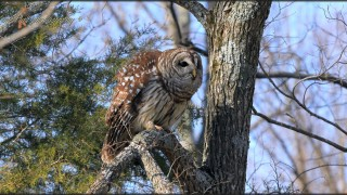 Barred-Owl-perched-IMG_2846