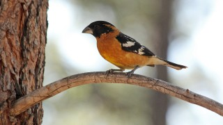 Black-Headed-Grosbeak-Yard-5-13-12-20-200PI