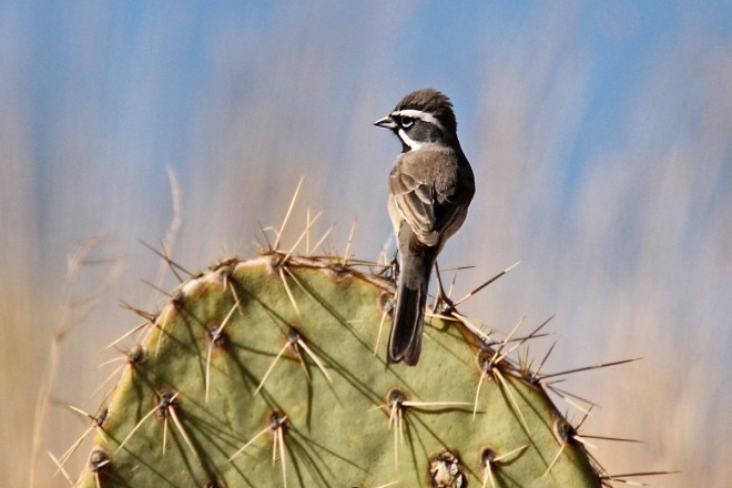 Black-Throated-Sparrow-Red-Tank-Draw-11-21-12-5-200PI